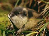 北极旅鼠草地觅食图片