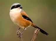 枝头站立的棕背伯劳鸟图片