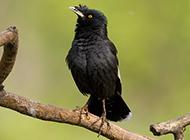 海南黑八哥鸟枝头栖息图片