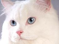 蓝眼白猫波丝猫萌翻众人