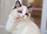 2016布偶猫唯美壁纸图片