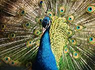 蓝孔雀开屏图片气质高雅