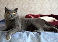 蓝色英短猫表情呆滞可爱图片