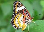 高清描写美丽蝴蝶