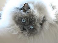 懒洋洋的喜马拉雅种猫图片