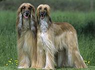 阿富汗猎犬复古外观图片