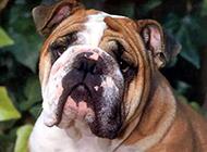 家养宠物斗牛犬动物图片