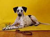 大麦町犬可爱创意写真图片