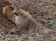 体型粗壮的草原鼢鼠图片