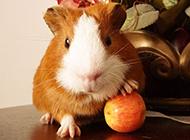 身材短小的宠物豚鼠图片