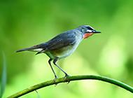 红喉歌鸲可爱鸟类图片