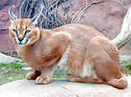 狞猫图片眼神警惕戒备