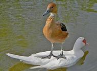 霸气十足的鸭子爆笑图片