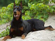 肌肉发达的德国杜宾犬图片