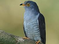鸟类动物野生杜鹃鸟图片