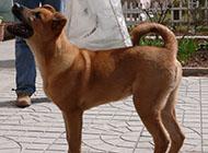 中华田园犬凶猛幼犬图片大全