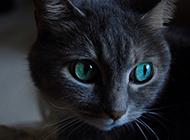 孟买猫眼神迷人图片