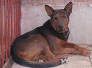 纯种凶悍老版苏联红犬图片