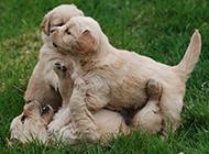 金毛寻回犬幼犬外出玩耍图片