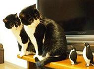呆萌双胞胎猫咪搞笑萌图精选