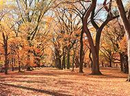 橙色调的枫树林风景图片