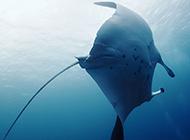 海底动物鳐鱼的图片