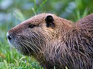 加拿大海狸鼠高清壁纸图片