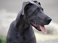 黑色大丹犬调皮吐舌特写图片