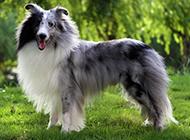 成年喜乐蒂牧羊犬优雅姿态图片