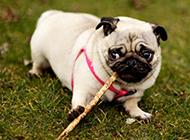 国外纯种可爱八哥犬图片