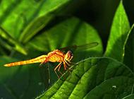 蜻蜓昆虫图片公园风景特写