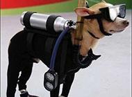 恶搞狗狗图片之有型的潜水员