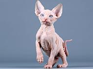 斯芬克斯无毛猫可爱幼仔图片