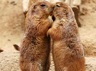 亲吻的土拔鼠图片大全