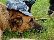 警犬草地训练休息图片