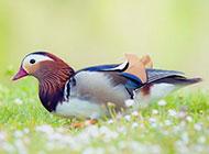 鸳鸯高清鸟类摄影欣赏