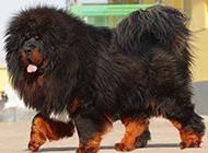 西藏獒犬体态慵懒图片