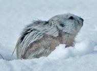 北极旅鼠雪地觅食图片