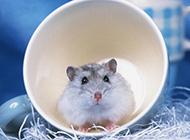 可爱卖萌的仓鼠图片