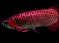 漂亮的红龙鱼鳞片发色图片
