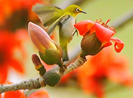 小巧玲珑的红眼白玉鸟图片