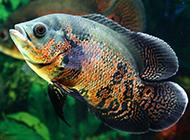 大地图鱼色彩斑斓图片