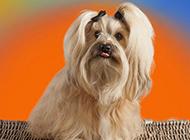 造型独特的纯种西施犬图片