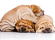 在睡觉的小沙皮犬图片大全