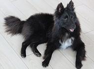 黑色长毛比利时牧羊犬图片