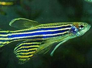 体型较小的特蓝斑马鱼图片