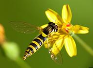 小蜜蜂图片昆虫与鲜花高清特写壁纸