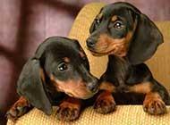 调皮可爱的腊肠犬高清图片
