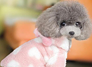 毛茸茸的灰色茶杯犬图片