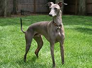 灵缇犬图片展示帅气矫健身姿